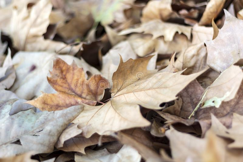 Dried autumn leaves. On the ground stock photo