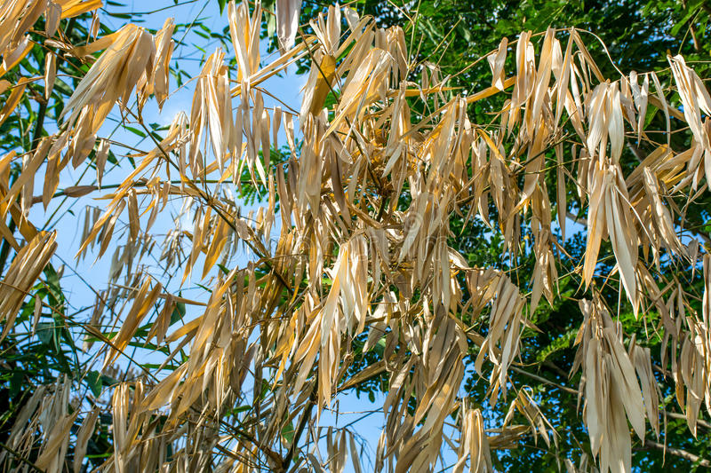 Dried bamboo leaves. Dried bam boo leaves sky royalty free stock images