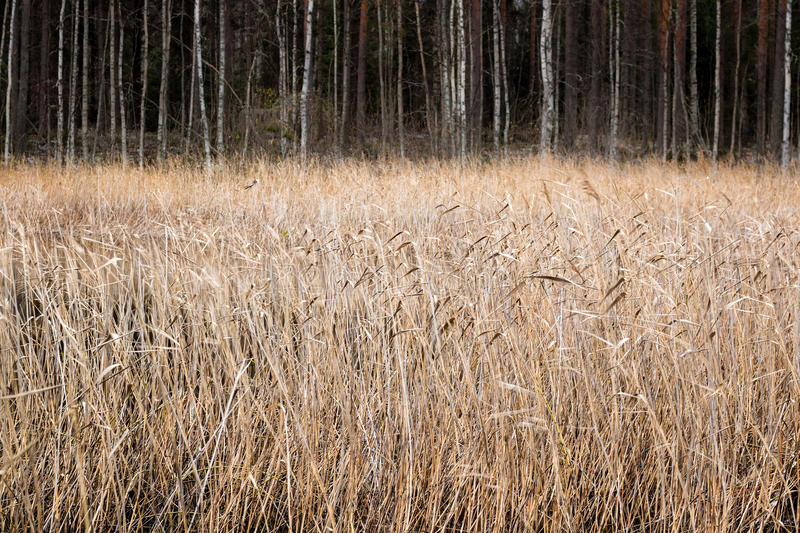 Dried bed of reeds in autumn. By a lake in Finland stock photography