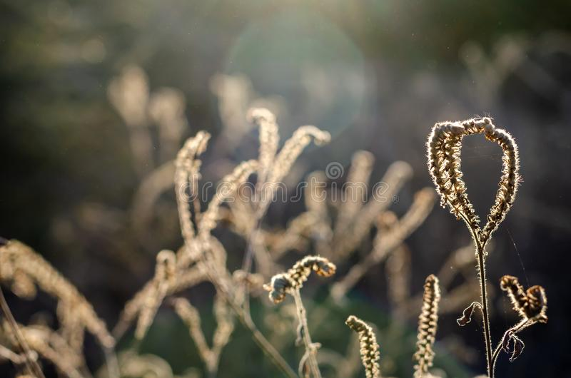 Dried beige Heliotropium indicum flowers in the autumn sunshine. royalty free stock photography