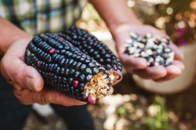 Dried blue corn cob, maize of blue color in mexican hands in mexico stock images