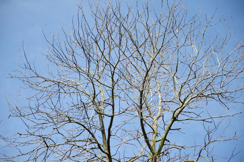 Download Dried Branches On A Big Tree Stock Image - Image: 32139223