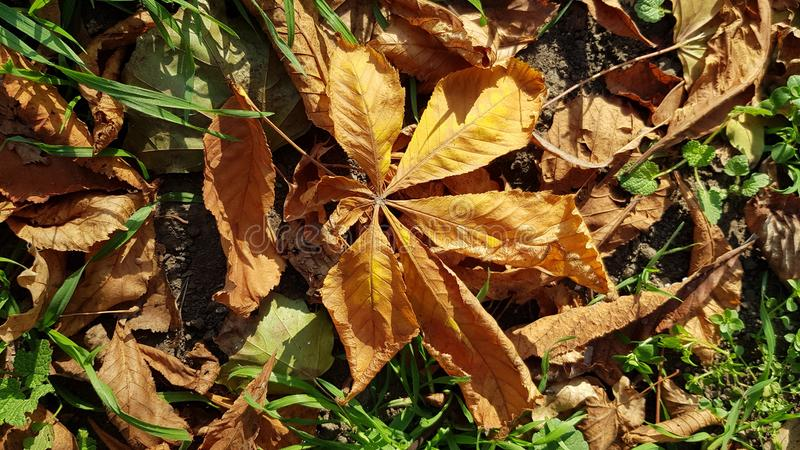 Dried brown leaves of chestnut tree among green grass stock image