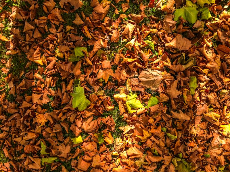 Dried brown leaves laying on green grass. Illustrating autumn or fall at golden hour stock images