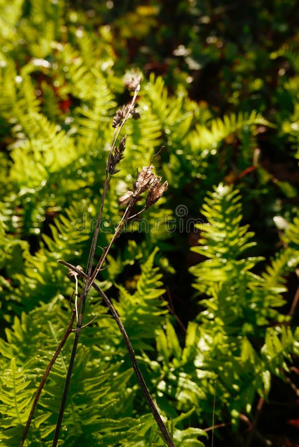 Dried brown seed pods in front of bright green ferns are lit by the morning sun. stock images