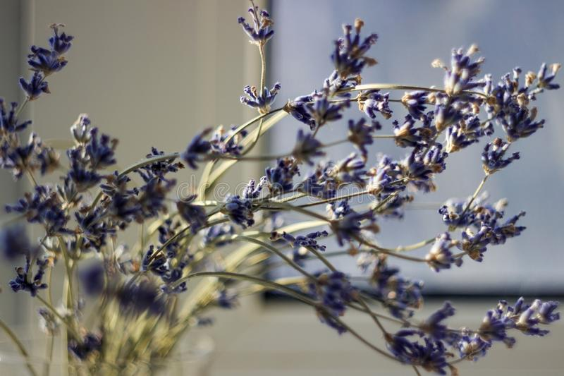 Dried bunches of lavender - medicinal herbs background, macro, blured flowers stock photos