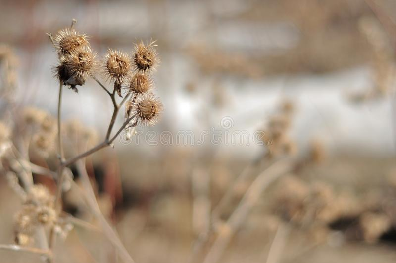 Dried Burrs in Autumn. Burdock on blurred background. Dried Burrs in Autumn. Burdock on the blurred background stock photography