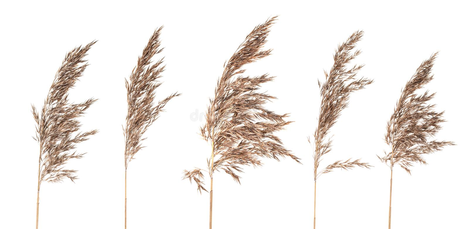 Download Dried Bush Grass Panicles On White Background Stock Photo - Image of garden, clump: 28382988