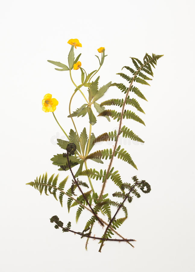 Free Dried Buttercup, Ranunculus Flowers And Fern Leaves Stock Photography - 93178842