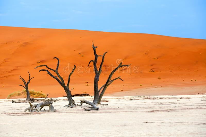 Dried camel acacia tree on orange sand dunes and bright blue sky background, Namibia, Southern Africa stock photos