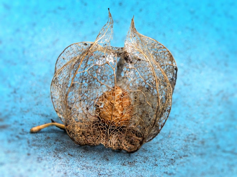 Dried Cape Gooseberry. A close-up view of a dried out Cape Gooseberry stock images