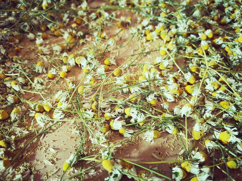 Dried chamomile on brown paper royalty free stock photo