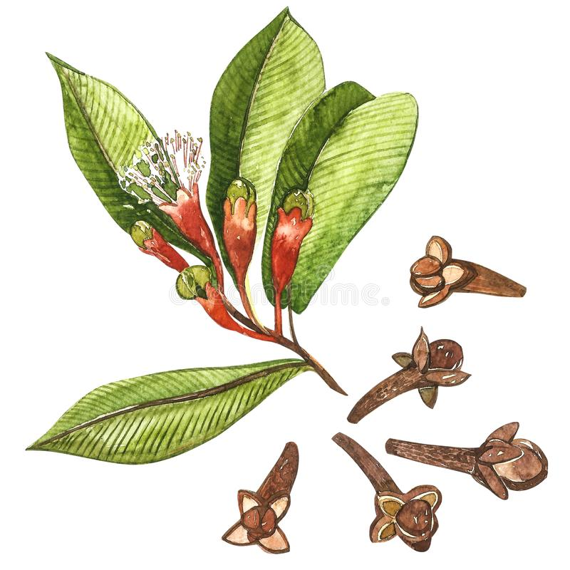 Dried Cloves botanical illustration of flowers and leaves. Collection of tonic and spicy plants. Hand drawn spices. Illustrations royalty free illustration