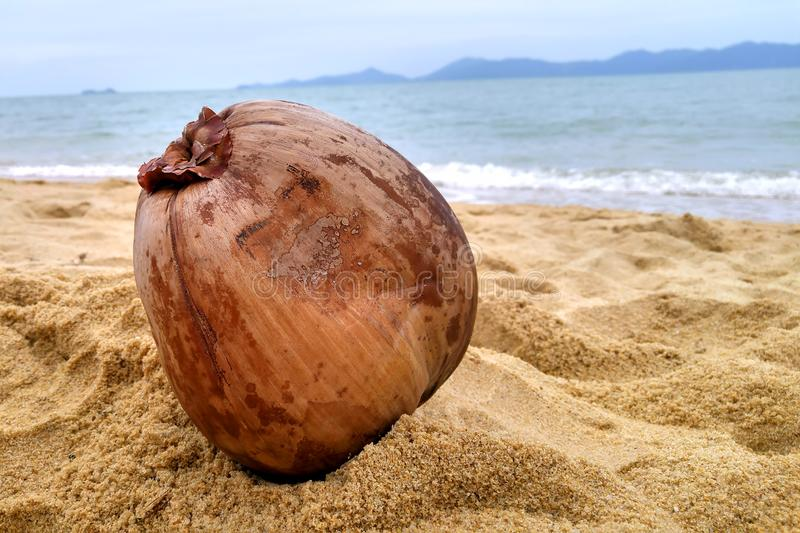 A dried coconut lies in the sand on a tropical beach royalty free stock images