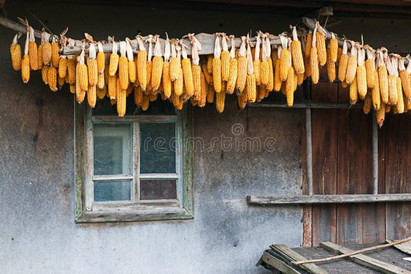Download Dried corn stock photo. Image of farming, farmland, farm - 21654094
