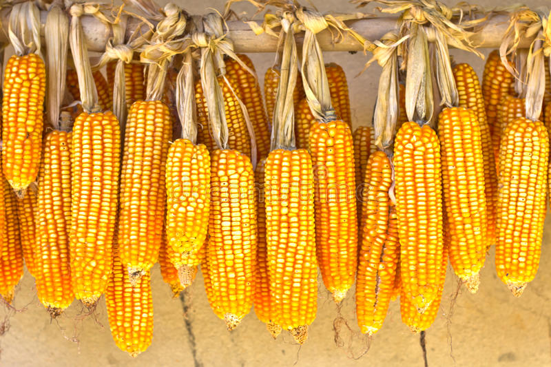Download Dried corn stock image. Image of health, energy, background - 21676085