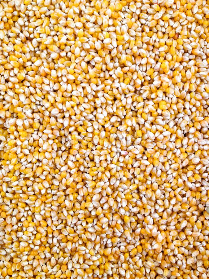 Dried corn can be used as background. royalty free stock images