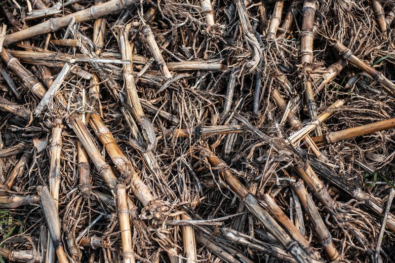 Dried corn cobs on the wet ground.  stock photography