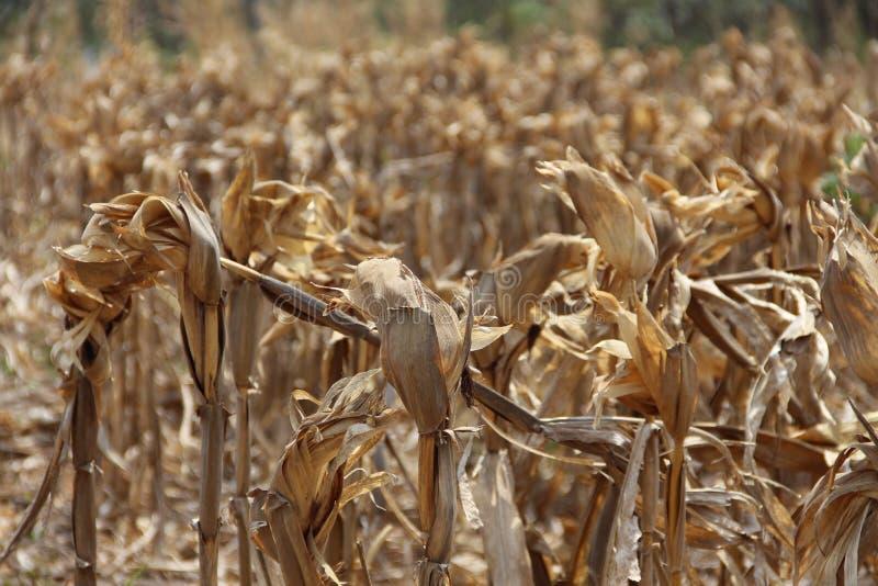 Dried corn field stock image