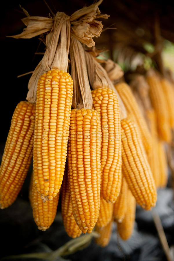 Dried corn is hung. In fram royalty free stock image