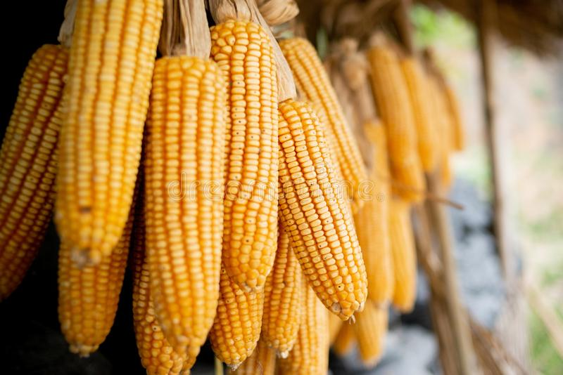Dried corn is hung. In fram stock image