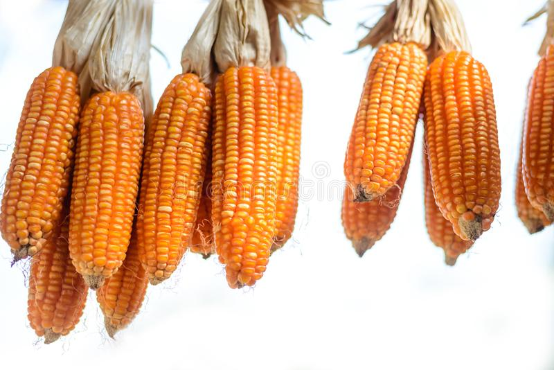 Dried corn is hung to dry. Before further processing in the industry royalty free stock photo