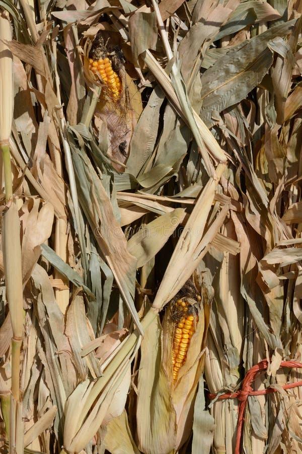 Dried corn stalks stock photo