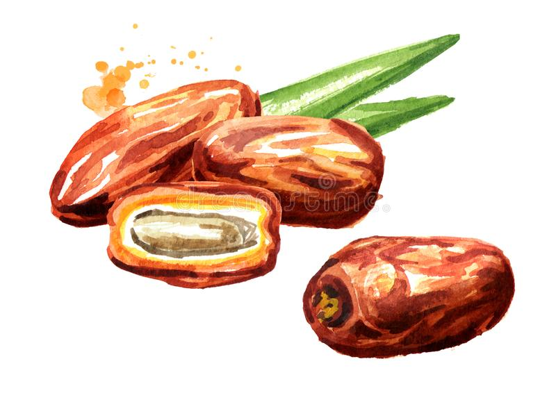 Dried date fruits. Watercolor hand drawn illustration, isolated on white background stock illustration