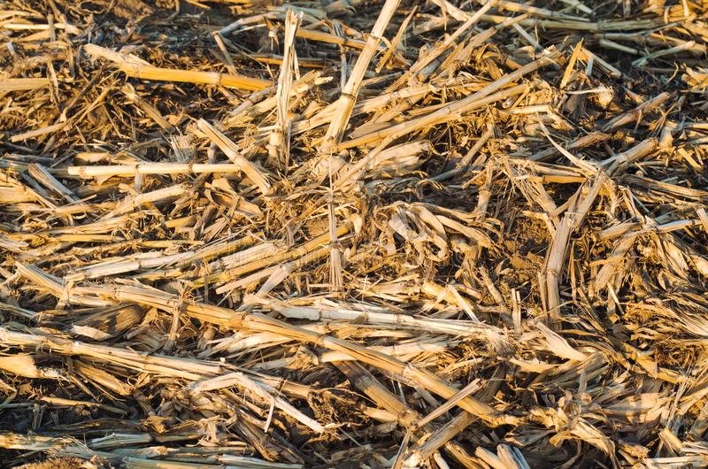 Dried dry corn stalks lie on the floor. food for rabbits, background for design royalty free stock photography