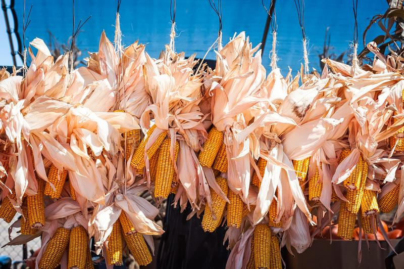 Dried ears of corn strung together and hung up for display in Ne stock image