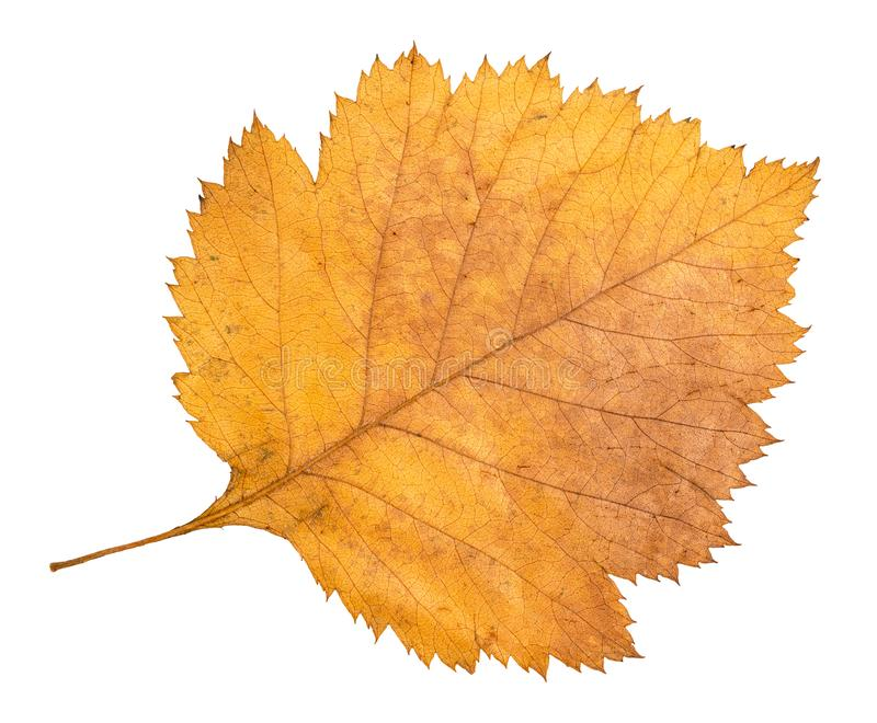 Dried fallen yellow autumn leaf of hawthorn tree. Cut out on white background royalty free stock images