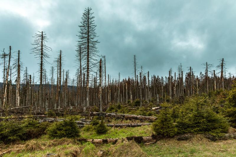 Dried and felled trees in a coniferous forest. In early spring on a sunny day and a cloudy sky stock photo