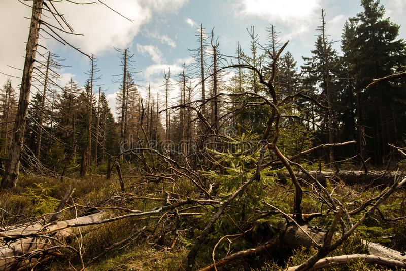 Dried and felled trees in a coniferous forest. In early spring on a sunny day and a cloudy sky stock images