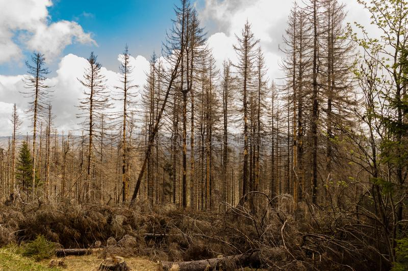 Dried and felled trees in a coniferous forest. In early spring on a sunny day and a cloudy sky stock photography