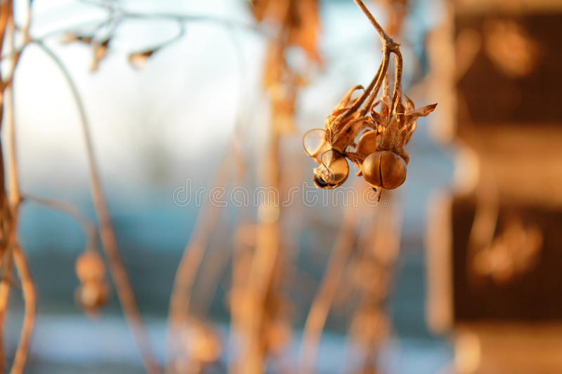 Dried flower seeds inautumn royalty free stock image