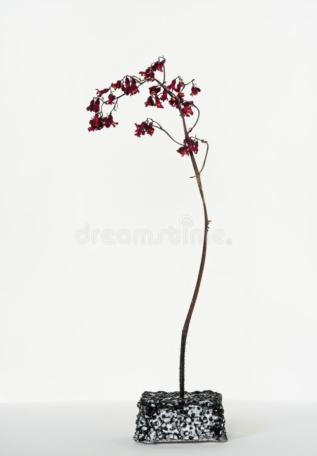 Dried Flower Sprig, Red Coral Bell. Lone stem of dried red Coral Bells in stand isolated on white background stock image