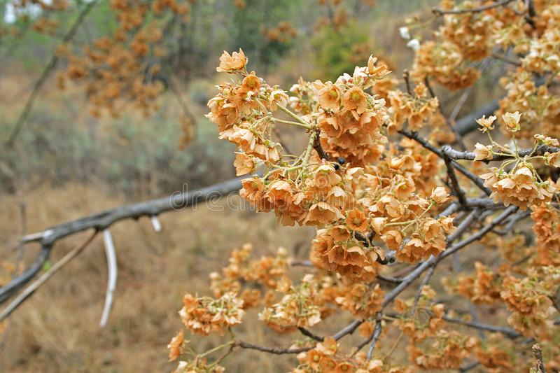 DRIED FLOWERS ON BRANCHES OF A SHRUB stock photography