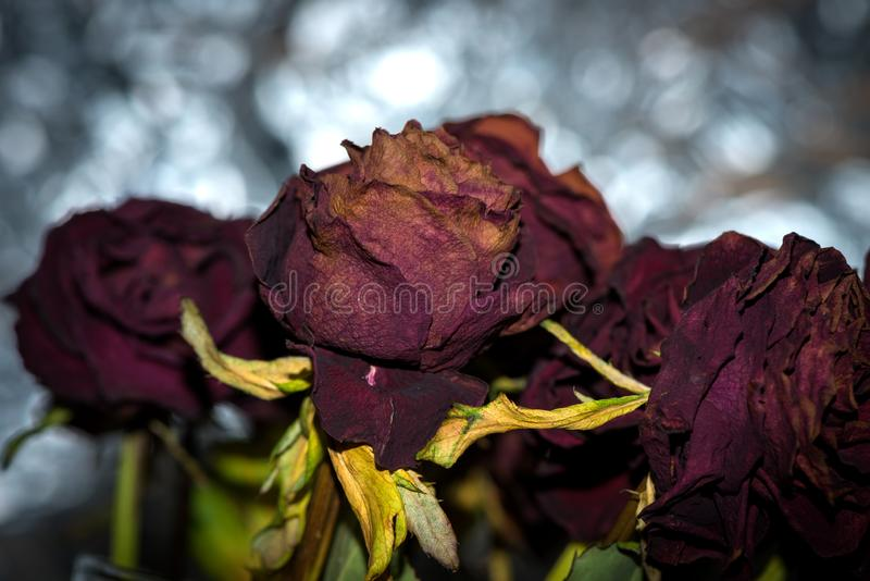 Dried flowers detailed macro photography. Dried roses in flash light. royalty free stock image