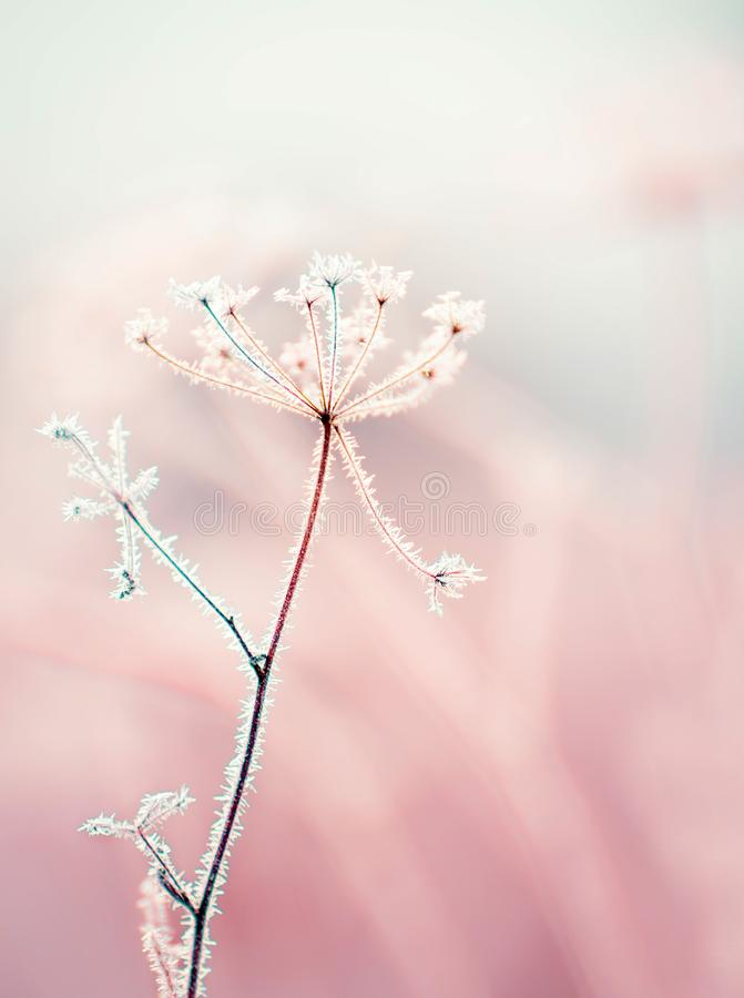 Free Dried Flowers In A Meadow In White Hoarfrost. Magic Photo Of White Hoarfrost On Plants. Royalty Free Stock Image - 157274286