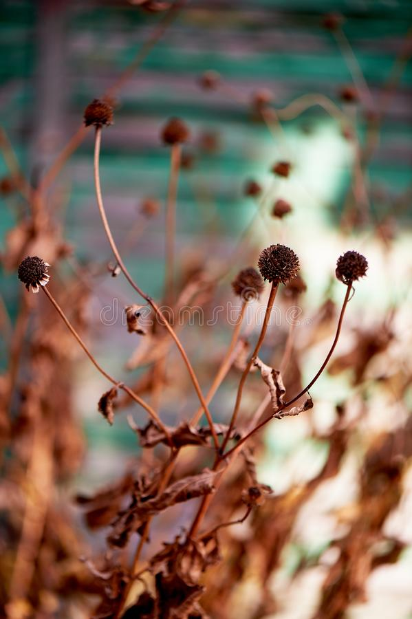 Dried flowers in nature on the background of a green house.Withering nature before winter. Dried flowers in nature on the background of a green house. Withering stock photos