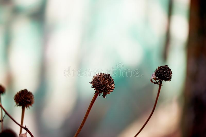 Dried flowers in nature on the background of a green house.Withering nature before winter. Dried flowers in nature on the background of a green house. Withering stock photo