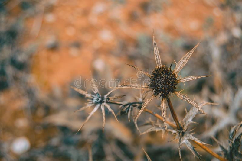 Dried fruit cirsium. In the field stock photography