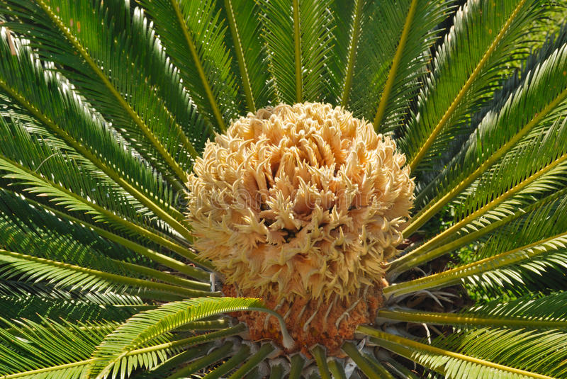 Dried fruit palm. Dried fruit on the palm tree royalty free stock photos
