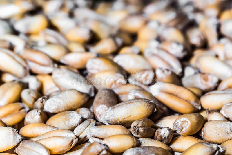Dried germinated grains of wheat. royalty free stock photos