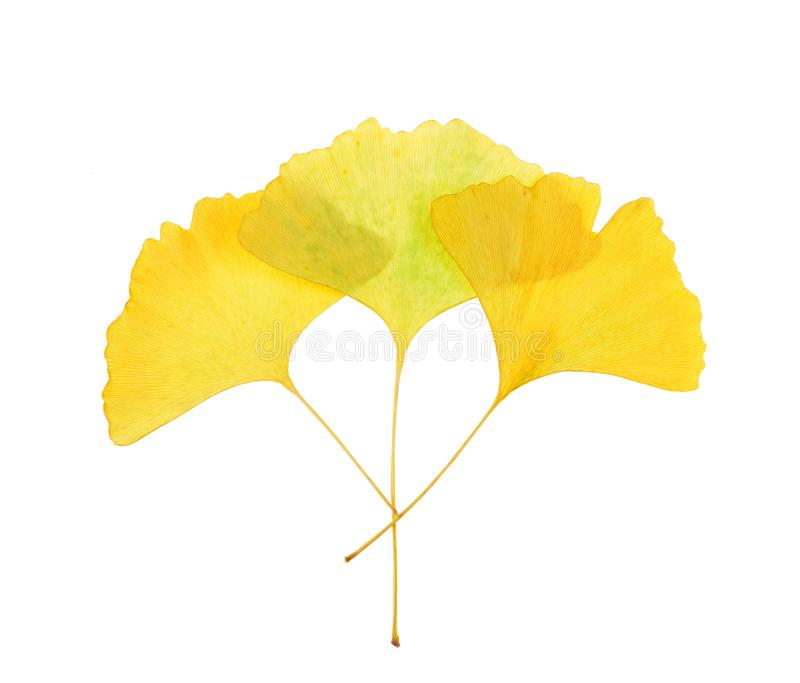 Dried ginkgo leaves on isolated white. Background stock image