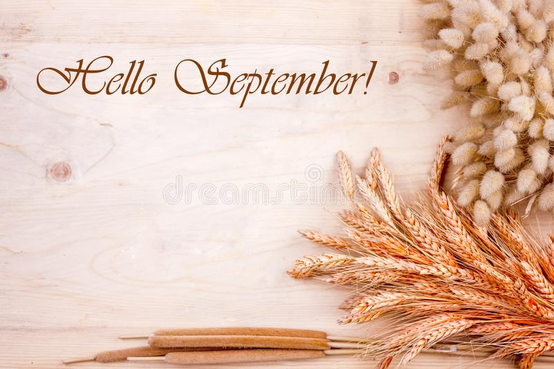 Dried grain ears and reeds on a wooden table. Autumn harvest of bread. Lettering Hello September. Dried grain ears and reeds on wooden table. Autumn harvest of royalty free stock photography