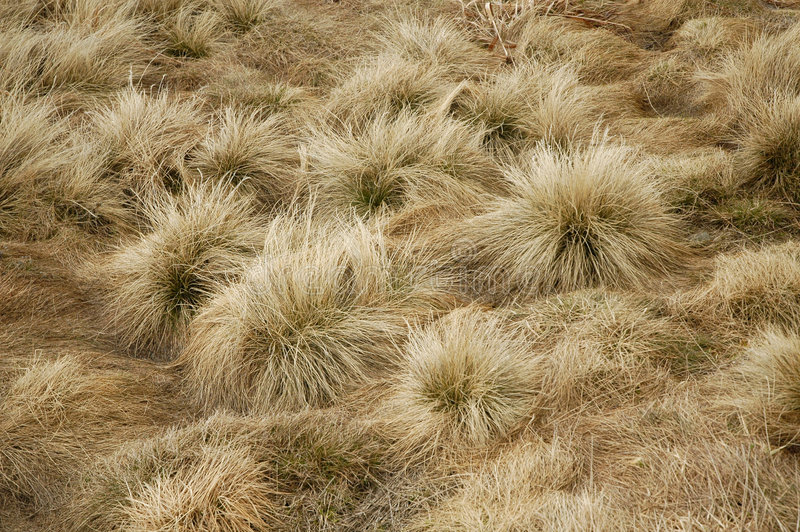 Dried grass texture royalty free stock photo