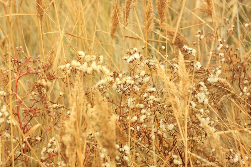 Dried grass with white fluffy flowers. Straw, hay on a foggy day light background with copy space stock photography