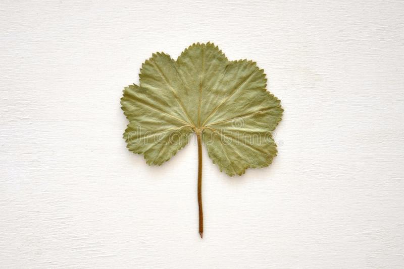 Dried green leaf royalty free stock photography