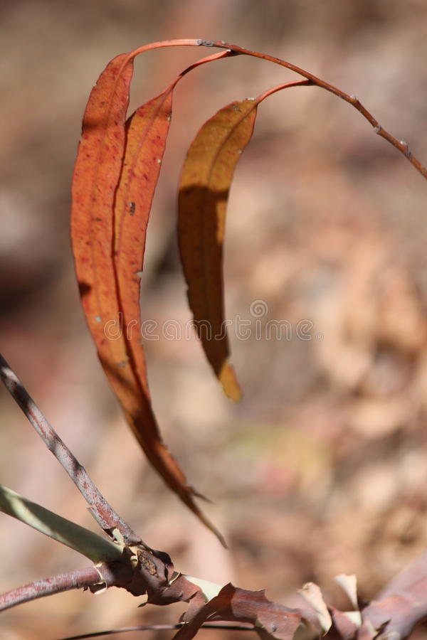 Dried Gum :eaves. Brown tones on these dried gum leaves stock photos